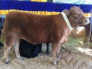 South Devon steer Melb show 2017 Team H The Bend Esthers calf (2) (768x1024)