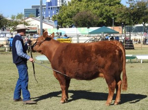 Chevalley Jemima Reserve Ch cow Brisbane show 2017