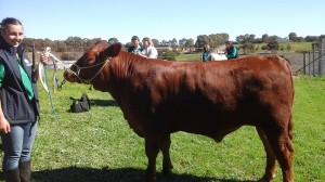 Gum Hill  steer for Royal Adelaide Show